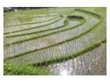 Jual Cepat Tanah (Sawah) di Mijen - Semarang