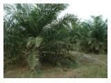 jual perkebunan kelapa sawit
